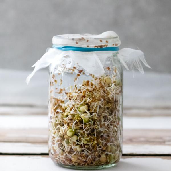 alfalfa sprouting